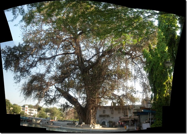 600yearoldBanyanTree